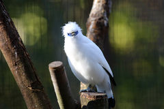 Bali myna Royalty Free Stock Image