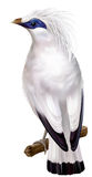 Bali Myna. Leucopsar rothschildi rare endemic bird and faunal emblem of Bali. vector illustration stock illustration