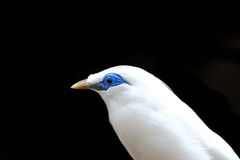 Bali Myna Stock Photos