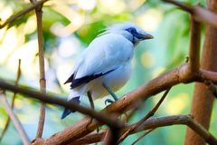 White bali myna starling bird sitting on a branch in a forest Stock Image