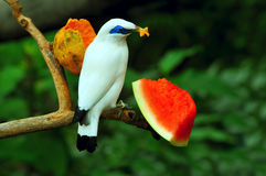 Bali mynah Royalty Free Stock Photos