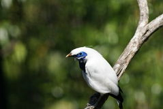 Bali Mynah Stock Photos