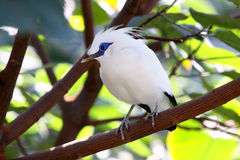 Bali Mynah Royalty Free Stock Photography