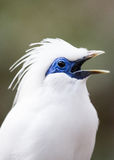 Bali Mynah Royalty Free Stock Images