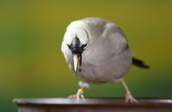 Bali Mynah bird Royalty Free Stock Image