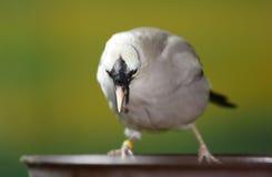 Bali Mynah bird Royalty Free Stock Image