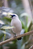Bali-Mynah (Leucopsar rothschildi) Stock Photo