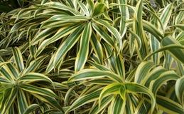 Bali Ogrodowa roślina Zdjęcia Royalty Free