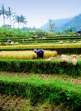 Bali paddy field Royalty Free Stock Image