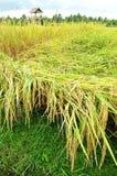 bali pola żniwo przygotowywający ryżowy sceniczny widok Zdjęcie Stock