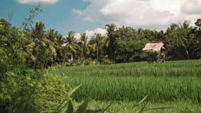 bali pola ryżu zdjęcie wideo