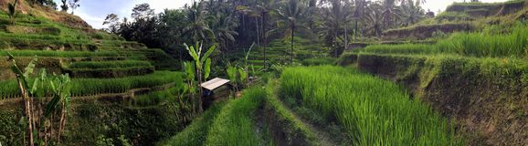 Bali-Reisterrasse im Sommer Lizenzfreie Stockfotografie