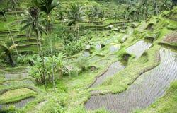 Bali rice field Royalty Free Stock Photos