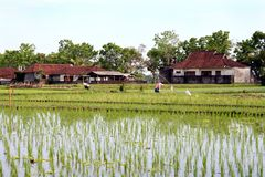 Bali Rice Field. Rice field workers on a typical farm in Bali royalty free stock photography