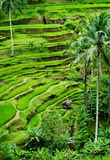 Bali Rice Field. Tegallalang, Bali, Indonesia is where you will find some of the most dramatic and beautiful rice terraces in all of Asia. The hut provides shade Stock Images