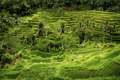 Bali Rice Field. The village of Tegallalang, Bali, is known for its beautiful and dramatic rice terraces. The steep hills are an irrigation marvel and studied by Stock Photography