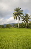Bali rice field Royalty Free Stock Images