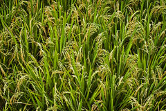 Bali Rice Field. A closeup of rice stalks almost ready for harvest. Rice production is a major industry in Indonesia Stock Photos