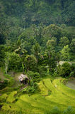 Bali Rice Field. The lush rice terraces of eastern Bali seen on the way to the coastal village of Amed Royalty Free Stock Photography
