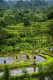 Bali Rice Field. This Sidemen, Bali rice field represents some of the most beautiful landscapes in all of Asia. These fields are over a thousand years old Stock Photos