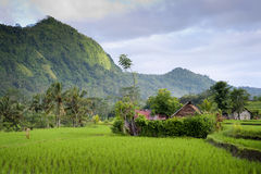 Bali Rice Field. Some of the most beautiful rice fields can be experienced in the eastern part of this tropical island, specifically the Sidemen area Stock Photos