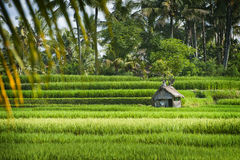Bali Rice Field. This Ubud, Bali rice field represents some of the most beautiful landscapes in all of Asia. These fields are over a thousand years old where Royalty Free Stock Photos