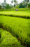 Bali Rice Field. In the village of Ubud, Bali, Indonesia, the rice fields are dramatic and colorful providing food and employment Royalty Free Stock Photos