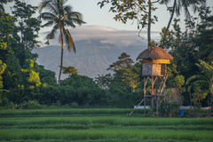 Bali Rice Field and Volcano. Stock Image