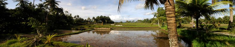 Bali Rice fields. Panorama of rice fields in Bali near Ubud Royalty Free Stock Images