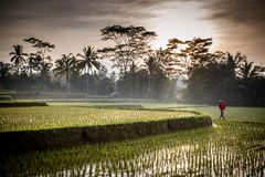 Bali Rice Fields Stock Photography