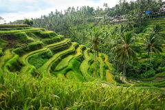 Bali rice fields. Beautiful and dramatic rice terraces in Indonesia Stock Photo