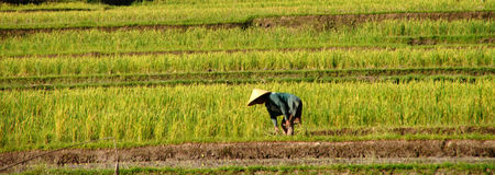 Bali Rice Fields Farmer. Panorama of rice fields farmer in Bali near Ubud Stock Image
