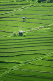 Bali Rice Fields. High up in the northwest corner of Bali, Indonesia some of the most beautiful rice terraces can be found. Many tourist never get to see places Royalty Free Stock Photography