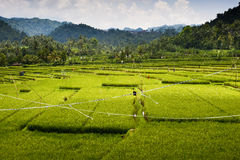 Bali Rice Fields. High up in the northwest corner of Bali, Indonesia some of the most beautiful rice terraces can be found. Many tourist never get to see places Royalty Free Stock Image