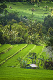 Bali Rice Fields. High up in the northwest corner of Bali, Indonesia some of the most beautiful rice terraces can be found. Many tourist never get to see places Stock Images