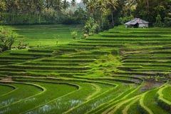 Bali Rice Fields. Bali is known for its beautiful and dramatic rice terraces. The graphic lines and verdant green fields are a vision to behold. Some of the Royalty Free Stock Photos