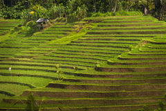Bali Rice Fields. Bali is known for its beautiful and dramatic rice terraces. The graphic lines and verdant green fields are a vision to behold. Some of the Royalty Free Stock Photography