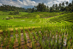 Bali Rice Fields. Bali is known for its beautiful and dramatic rice terraces. The graphic lines and verdant green fields are a vision to behold. Some of the Royalty Free Stock Image