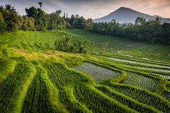 Bali Rice Fields. Bali is known for its beautiful and dramatic rice terraces. The graphic lines and verdant green fields are a vision to behold. Some of the Royalty Free Stock Photo