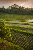 Bali Rice Fields. Bali is known for its beautiful and dramatic rice terraces. The graphic lines and verdant green fields are a vision to behold. Some of the Royalty Free Stock Images