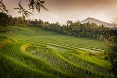 Bali Rice Fields. Bali is known for its beautiful and dramatic rice terraces. The graphic lines and verdant green fields are a vision to behold. Some of the Stock Photo