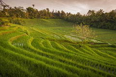 Bali Rice Fields. Bali is known for its beautiful and dramatic rice terraces. The graphic lines and verdant green fields are a vision to behold. Some of the Stock Images