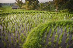 Bali Rice Fields. Bali is known for its beautiful and dramatic rice terraces. The graphic lines and verdant green fields are a vision to behold. Some of the Stock Photography