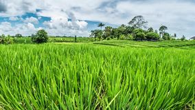 Bali Rice Fields Motionlapse 4k. Timelapse of some beautiful rice fields on Bali, Indonesia stock footage