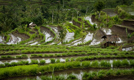 Bali Rice Fields. Some of the most beautiful and dramatic rice terraces can be seen in the village of Sidemen on the eastern side of this idyllic island Royalty Free Stock Photo
