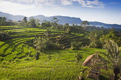 Bali Rice Fields. For some of the most beautiful rice terraces in Bali, Indonesia, you need to visit the village of Sidemen in the eastern part of this tropical Royalty Free Stock Images