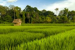 Bali Rice Fields at Sunrise. The rice fields near the village of Ubud are some of the most beautiful in all of Bali. Small huts provide shelter from the blazing Royalty Free Stock Photography