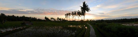 Bali Rice fields Sunset. Panorama sunset of rice fields in Bali near Ubud Stock Photos
