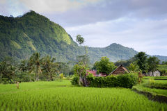 Bali Rice Fields. The rice terraces of Sidemen, Bali, in the eastern part of the island are some of the most beautiful in all of Indonesia Royalty Free Stock Images