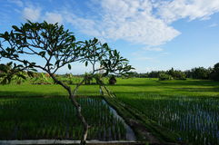 Bali rice fields and tree. Rice fields in Bali with tree in foreground - typical Bali scene Royalty Free Stock Image